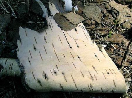 Береста. Сырьё для плетения мебели и аксессуаров