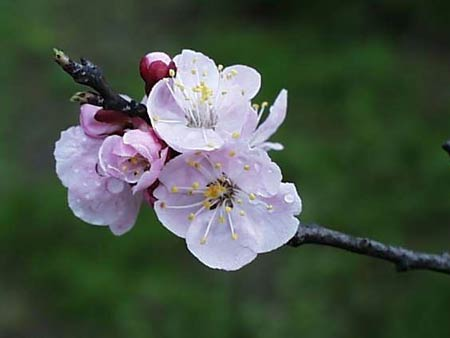Абрикос (Apricot tree, Prunus armeniaca)