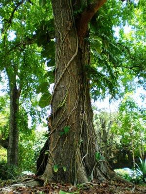 Дерево из каштана