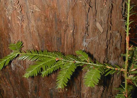 Секвойя (Sequoia sempervirens)