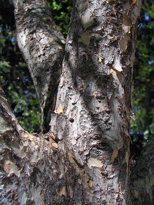 Ильм горный или вяз шершавый ulmus glabra
