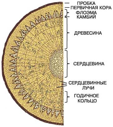 Макроскопическое состав древесины