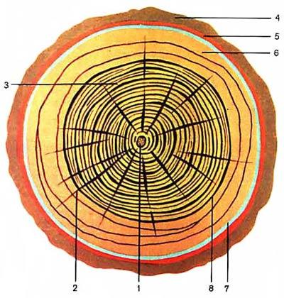 Макроскопическое устройство древесины