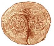 Пороки древесины. Двойная сердцевина в стволе сосны