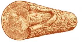 Пороки древесины. Сухобокость