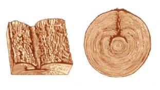 Пороки древесины. Разновидности прорости