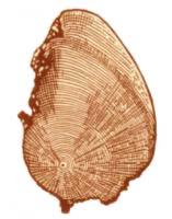 Пороки древесины. Рак сосны